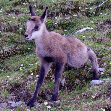 Fauna Carpatilor